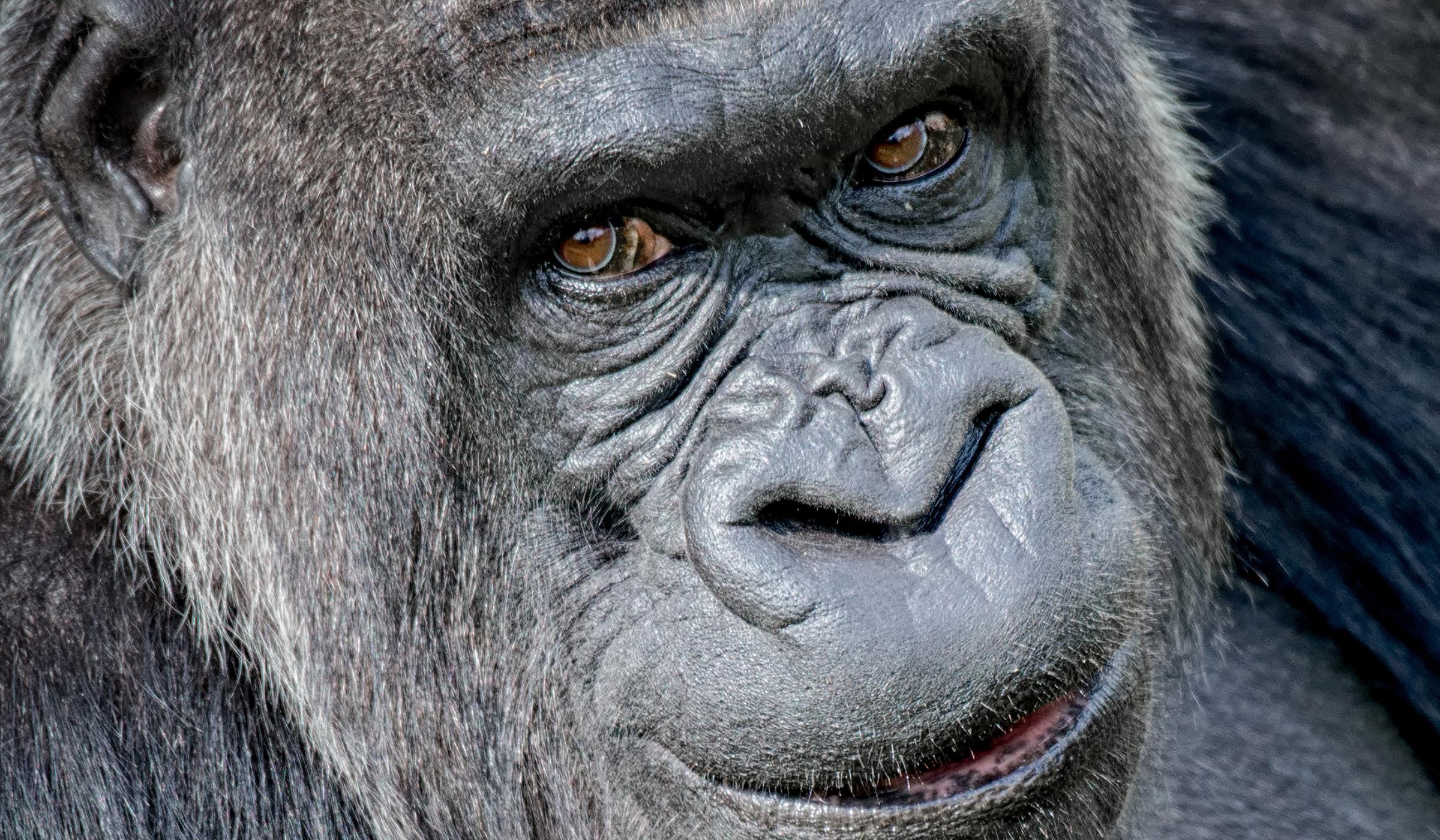 3083352ee4c Gebärdender Gorilla gestorben — Taubenschlag